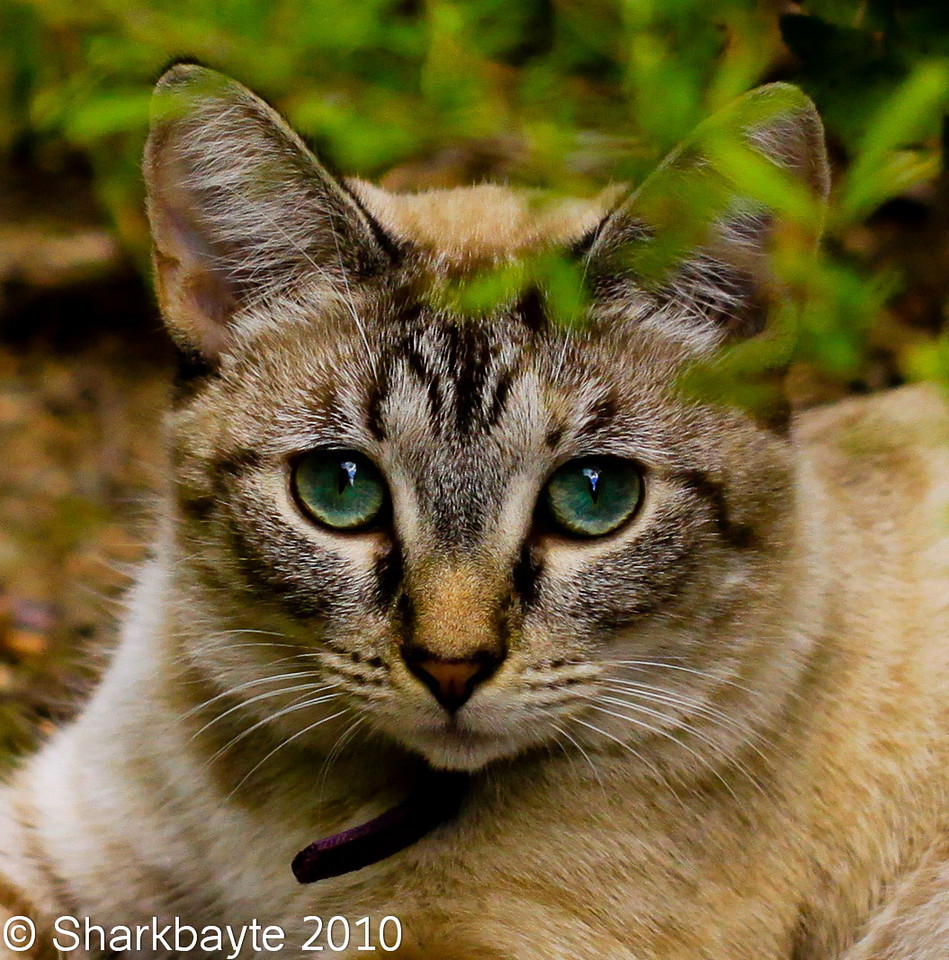 This is Nova. My neighbors cat chilling in the clearing. I was surprised to see her this far from her house but she came home without a problem. She was actually napping when I spotted here for her first impromptu photo.<br /> Day 249 #365Project (2010.09.06) @sharkbayte