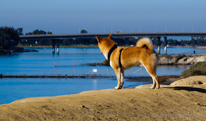 Baron looking out over the water towards Sea World - Fiesta Island