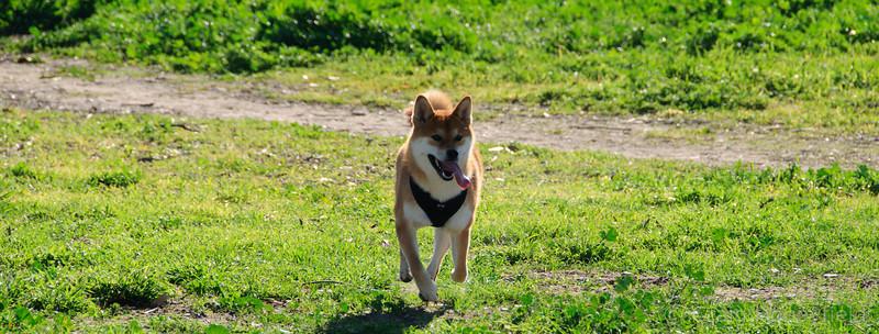 Baron running through the grass fields at Fiesta Island