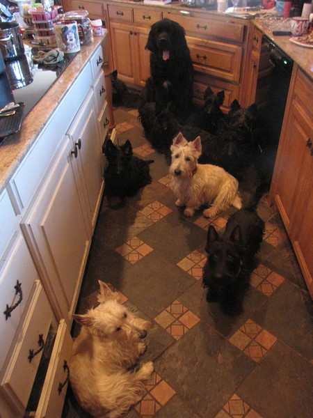 This is Claire - closest wheaten then Maisie with Finn behind her Scotty, Clyda and Jack the Newfie, I think Angus and Belle are the other ones??