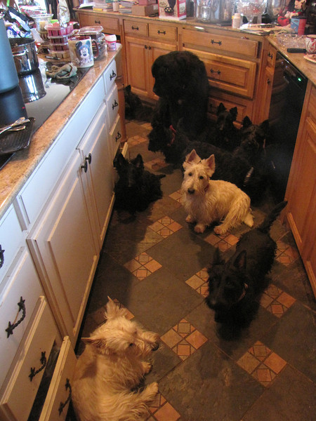 I wish my messy kitchen wasn't showing!! LOL<br /> <br /> Finn looks good though!! He is the wheaten one in the middle back looking at the camera! Quite a photogenic fellow, isn't he??