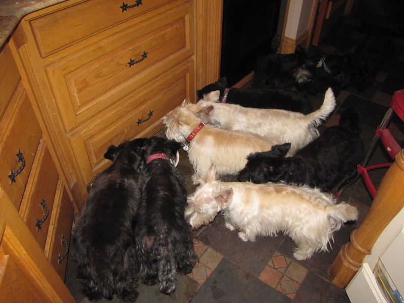 The water dishes are always a good place to take pictures of my babies!! At least they are still for a minute! Finn has a red collar on here and he is in the middle of the 3 wheatens...
