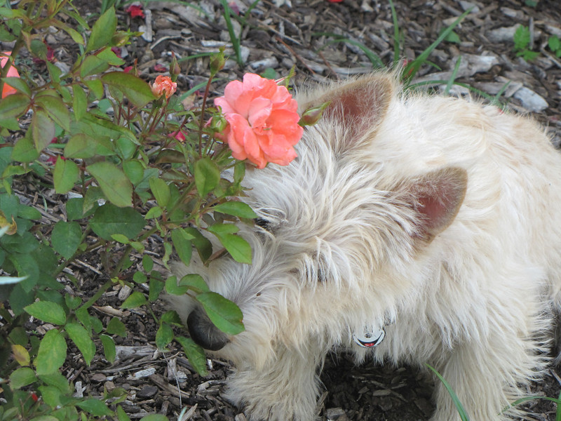 We should all take time to stop and smell the roses!!<br /> <br /> THis is probably the cutest one of them all!! He is wondering why we are out taking picturs of all these flowers and came over to check it out!! it almost looks like he is taking time to smell the roses!!