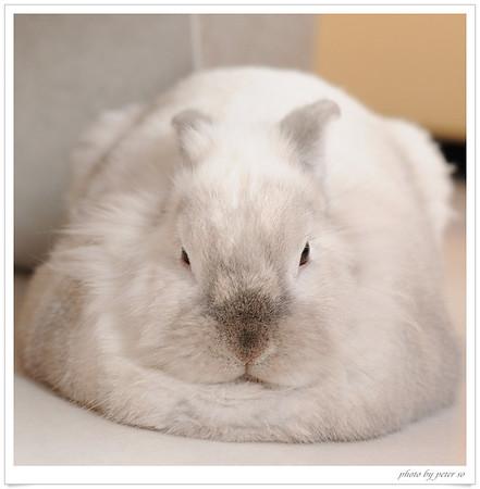Fluffy  my pet rabbit