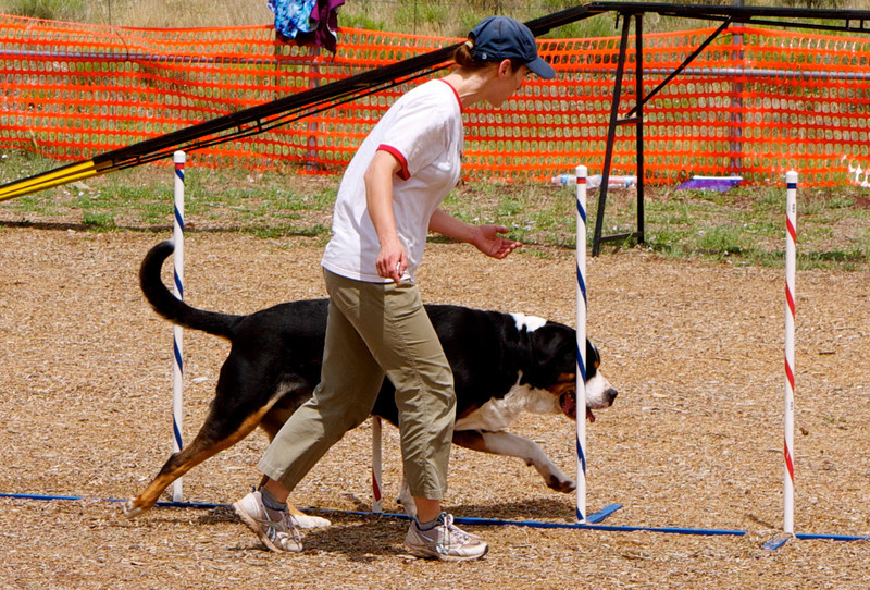 Linus' debut in standard agility, stretching out for the weaves.