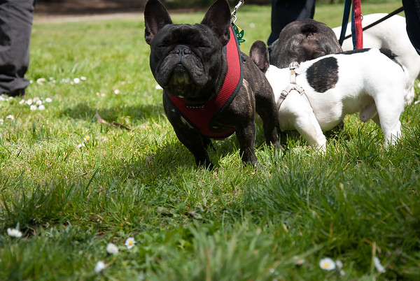 Frenchie Meet-ups
