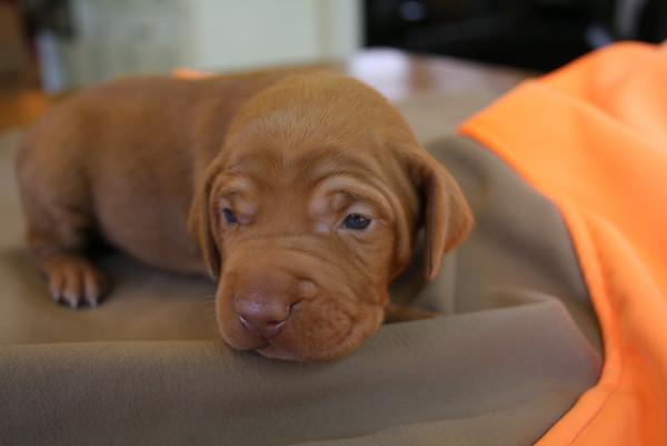 Danny x Freyja Puppies 2 Weeks