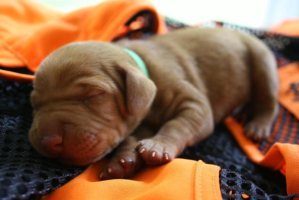 Danny x Freyja Puppies 1 Week