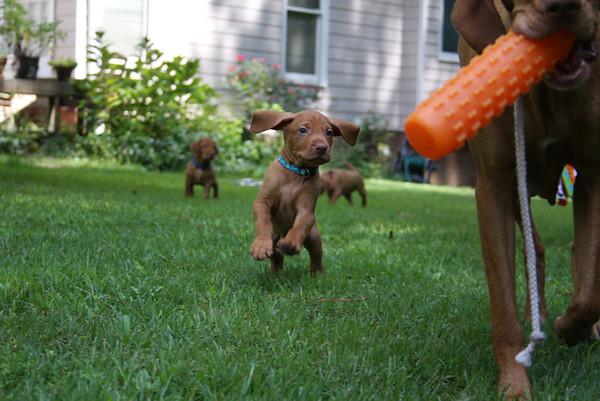 Danny x Freyja pups - 5 Weeks