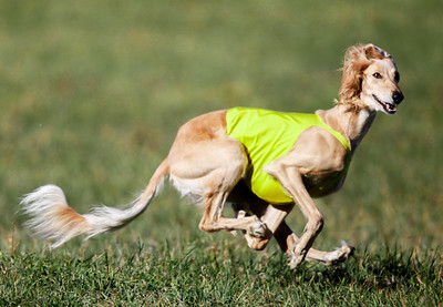 GONE Lure Coursing 2015