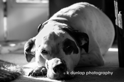 "10.20.14 = My Morning Grace  Gracie found a bit a sunshine yesterday morning in one of her favorite spots.  Drowsy and warm; ummm, I love lazy Sunday mornings.   ""Happiness is a warm puppy.""  Charles Shultz   *My THIRD in the series of five of the black & white challenge.  Today I challenge photographer Mary Mc Cahill to the b&w challenge."