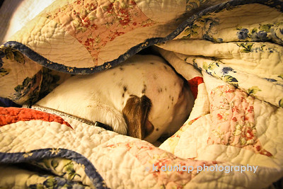 "01.05.12 = A long winters nap  Well January has certainly made an entrance and it seems she's brought the cold with her.  We were all having a fine winter until she arrived.  The bitter cold days make for long days indoors.  I think Gracie has the right idea here, snuggled up under the quilts for a warm winters nap.    ""Happiness is a warm puppy.""  Charles Shultz"