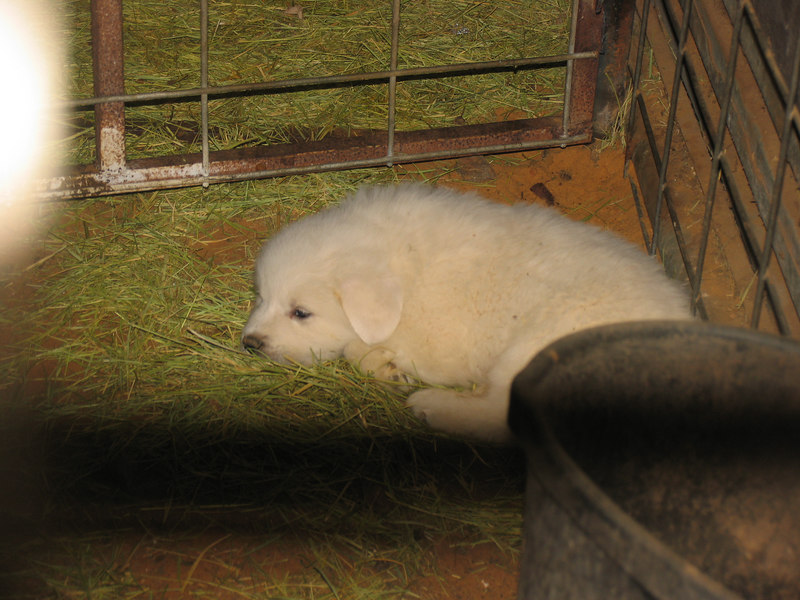This was the one little boy in the litter, he stayed in the barn because we were only looking for girls!!