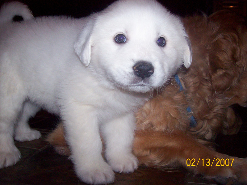 Dani at 6 weeks old! She may look little next to Duke the Golden Retriever now but just wait!!!