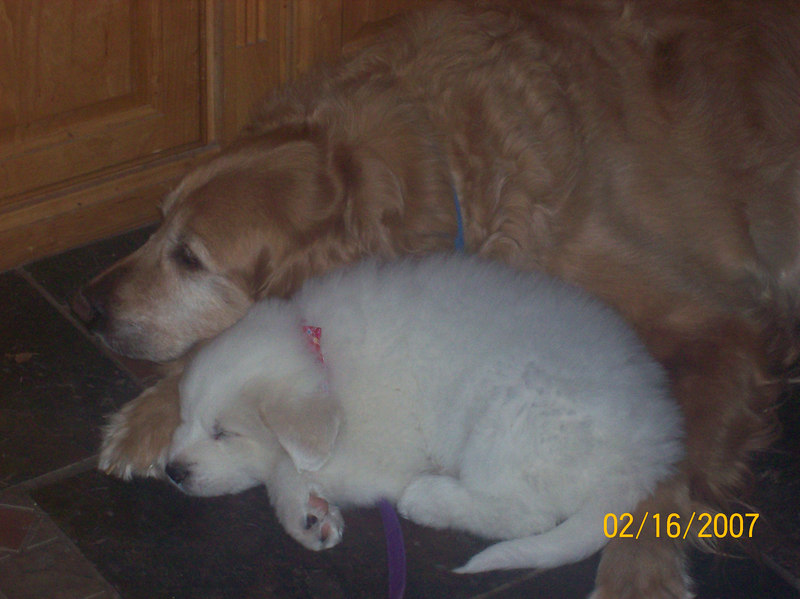 AHHHHHHH - Sooooo cute!!! <br /> <br /> Duke (90 lb Golden Retriever) has been through so many puppies!! This is the firrst one that will be bigger than him though!