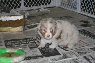 4 weeks - am I puppy or a piglet?  (photo courtesy of Sheri Nelson)