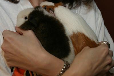 3-18-2010 Guinea Pigs