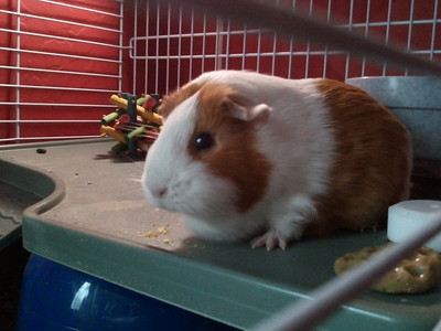Randon Guinea Pig Pics