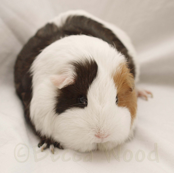 GP 09SE0882<br /> <br /> Squiggly, an American guinea pig.