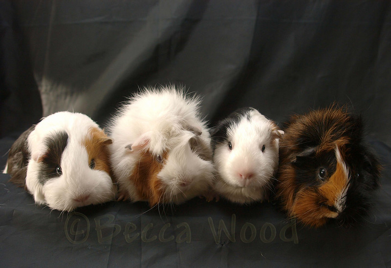 GP 09SE0839<br /> <br /> L-R:  Squiggly Pig, Ms. Audacious, Houskee Houzicks, Mr. Quixote.