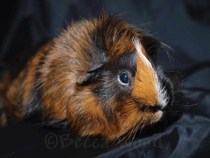 GP 09SE0910<br /> <br /> Quixote, a Abysinnian or Swirled guinea pig.