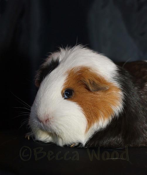 GP 09SE0824<br /> <br /> Squiggly Pig.