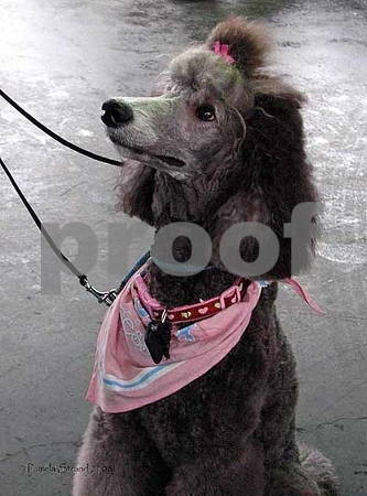 Guinevere Poodle1