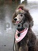 Guinevere Poodle9