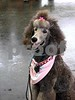 Guinevere Poodle8