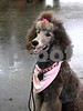 Guinevere Poodle7