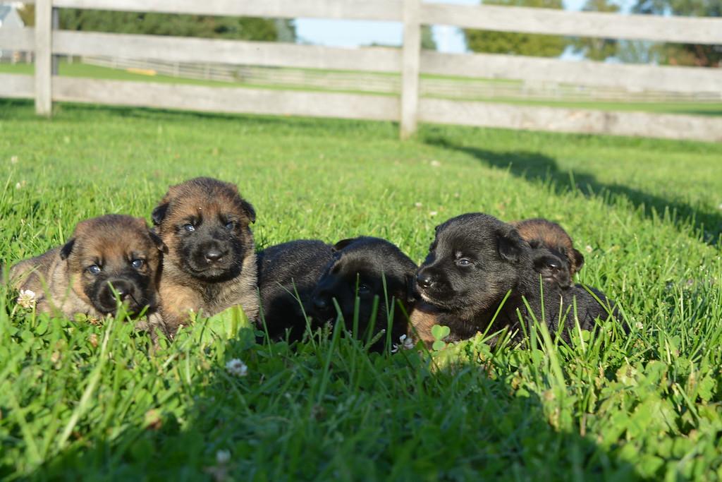 H pups, 2.5 weeks old<br /> September 2015