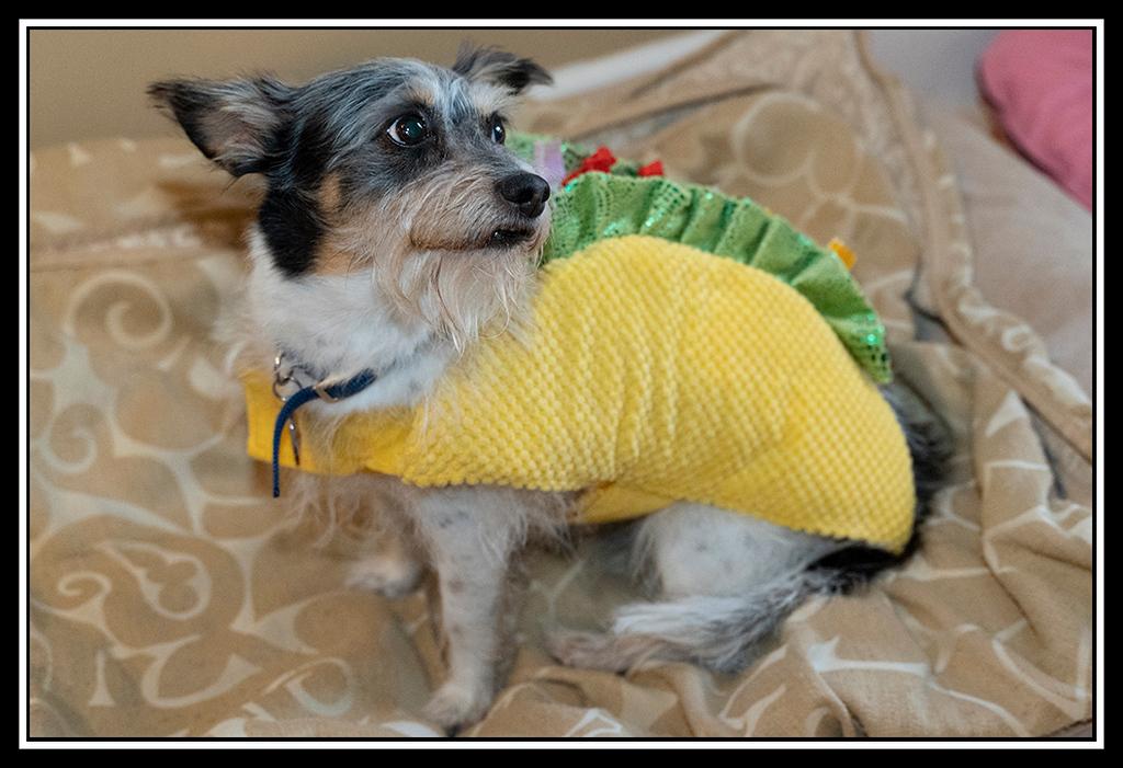 IMAGE: https://photos.smugmug.com/Pets/HOUSE-DOGS/i-4HZs2wb/0/aded40c3/XL/House%20Dogs%20Halloween%202019_5842-XL.jpg