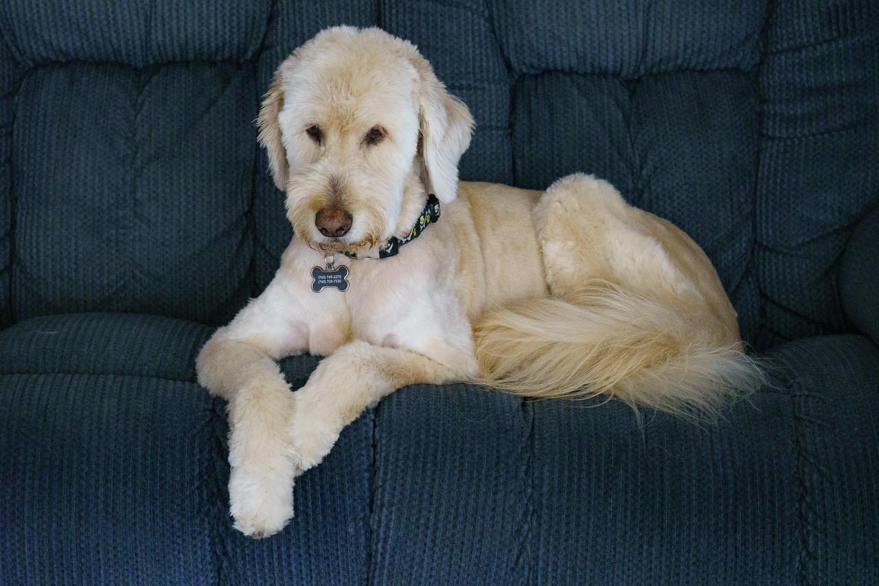 IMAGE: https://photos.smugmug.com/Pets/HOUSE-DOGS/i-7TmvqZH/0/ea8044b5/X2/Holly%20Summer%20Haircut_2227-X2.jpg