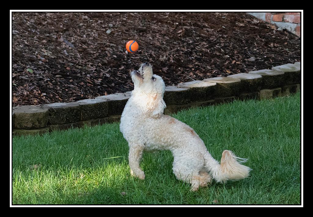 IMAGE: https://photos.smugmug.com/Pets/HOUSE-DOGS/i-P8zCknp/0/edc07cf2/XL/DUKE%20AND%20BALL_4537-XL.jpg