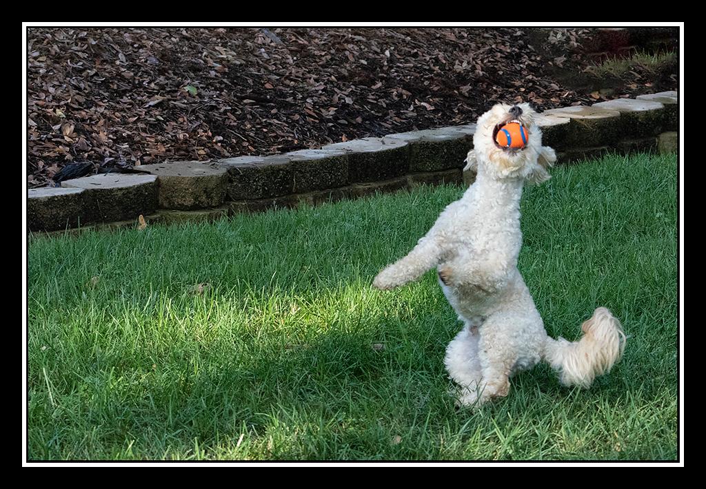 IMAGE: https://photos.smugmug.com/Pets/HOUSE-DOGS/i-sdsQJPM/0/ac6285a0/XL/DUKE%20AND%20BALL_4534-XL.jpg