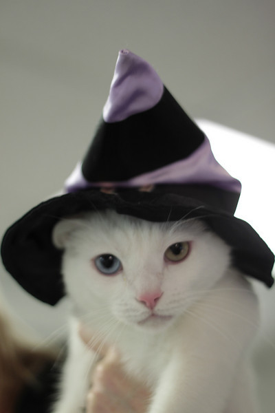 Winter shows off his fetching witch hat. Winter is available for adoption today at the Seattle Humane Society!