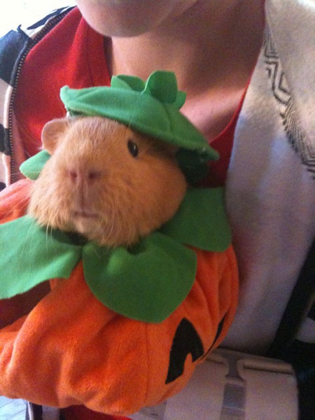 Bella the pumpkin pig!