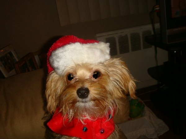 Bailey is Santa's Little Helper this Halloween.
