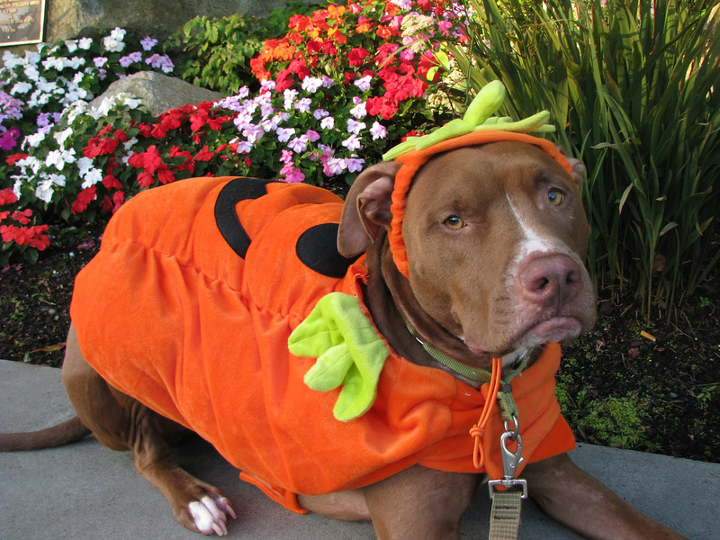 Sullivan is an adorable pumpkin boy.