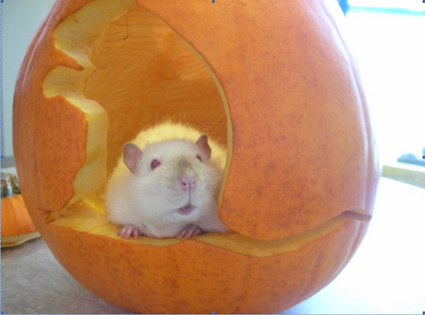 Chunk, adopted from Seattle Humane, inspired this creative jack-o-lantern.