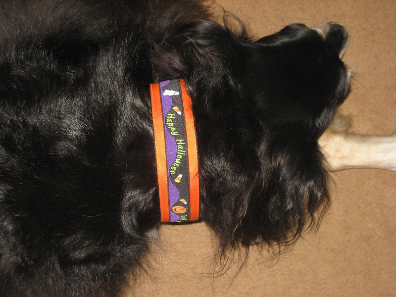"Albi wearing Happy Halloween on orange 1 1/2"" wide collar"