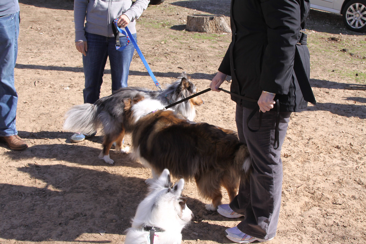 IMG_7349  Hidalgo introduces himself to a 4 year old Blue Merle Sheltie