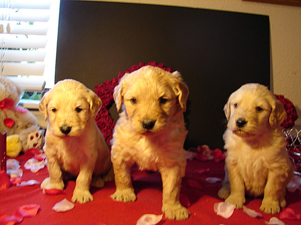 HOLLY AND HER BUFF AND GOLDEN COLORED SISTERS - Image provided by Heather Goins