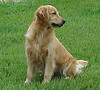 MISTY, A BEAUTIFUL GOLDEN RETRIEVER, is Holly's mother.  Photo provided by Heather Goins.