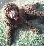 ROCKY, A BIG STANDARD POODLE, is Holly's father.  Photo provided by heather Goins.