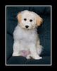 "Holly Doodle : Holly is a Goldendoodle which is an intentional cross between a Golden retriever and a Poodle.  She was born on Christmas day, 2007 and that is why she was named, ""Holly"".  Holly was born at Heather Goins'; Cheyenne Valley Labradoodles and Goldendoodles, located in Gainesville Texas, about 50-miles north of Dallas.  http://www.labradoodlebaby.com/  Goldendoodles come in several colors, ranging from an off-white to black, and in several coat styles ranging from the curly poodle type to the straight golden retriever style. Goldendoodles tend to be born with a darker color coat and then lighten up as the grow older.  We have noticed that Holly's coat is becoming lighter day-by-day. To view a selection of Goldendoodle pictures showing all coat types and colors please visit:    http://idog.biz/Gallery/PhotoGalleryGold1.html  For more general information about Goldendoodles, visit:   http://www.goldendoodles.com/ and  http://doodlekisses.com/  Holly's mother is Misty, a beautiful Golden retriever and her father is Rocky who is a big Standard Poodle.  There were 10 puppies in Holly's litter.  Seven were golden or buff colored and three were black. The images of Holly's parents and the early litter images were provided by Heather Goins and are so identified.  All other images are mine.  We picked up Holly on February 13th, 2008 at Heather's kennel and she weighed 7 3/4 pounds.  Holly, at her full growth, weighs about 65 pounds and is about 26 inches at the shoulders. Holly sheds minimally but, her curlier coated siblings will probably not shed at all.  She is very smart, calm but playful, and is extremely human oriented.  She has completed basic and intermediate obedience training and has completed a Therapy Dog Boot Camp.  Holly attracts more positive attention than any dog I have ever owned.  She will normally have a group of people around her, petting her and asking questions about doodles. It is nice to have a dog that I can positively recommend.   Holly is a wonderful dog.  She is smart and obedient and is a great friend to our Maltese.  We are involved in Maltese rescue (as well as doodle rescue) and will often foster Maltese who have had bad experiences with big dogs and fear them.  It takes Holly no more than a couple of days to make friends with these frightened dogs and to calm their fears.  Holly is esceptionally good with the tiny Maltese puppies and they love her.  Heather Goines, of Cheyenne Valley labradoodles and Goldendoodles is a very reliable breeder who tests her dogs to ensure that she is not breeding anomalies.  However, rescuing a doodle is a wonderful way to save a dogs life.  If you desire to rescue a doodle, please visit www.doodlerescuecollectiveinc.org for information on available doodles...  This Smugmug gallery will record Holly's development and the significant events in her life."