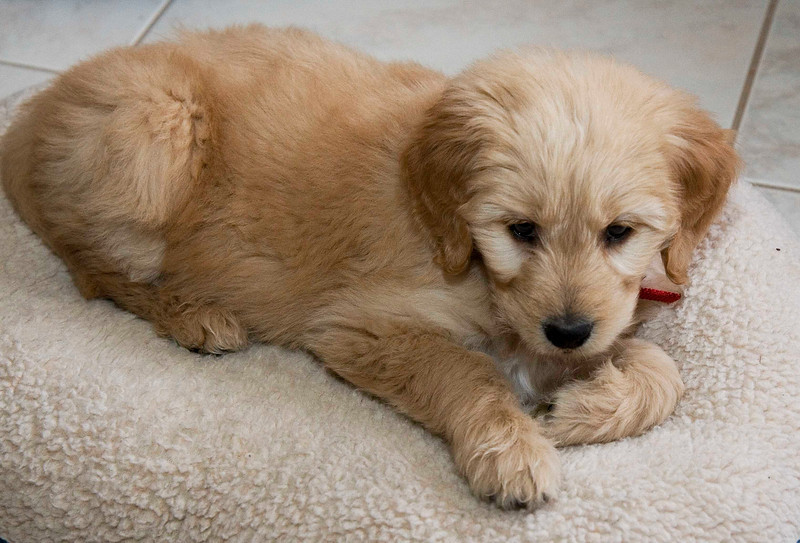 HOLLY AT SEVEN WEEKS - FIVE DAYS - Holly likes a soft bed but, will get hot after a while and switch to the cool tile.
