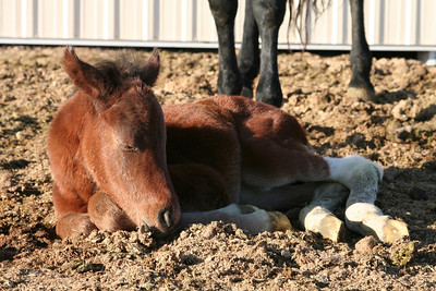 Coco's new foal, born on April 19th, 2008 around 4:30 AM.