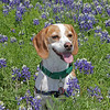 Nipper in bluebonnets in Steiner Ranch<br /> March 25, 2012 Dogtoberfest - October 20, 2012 in Austin, Texas Dogadillo's Howl-oween in Bee Caves, Texas on October 28, 2012. Subaru Wagathon Walkathon on March 30, 2014