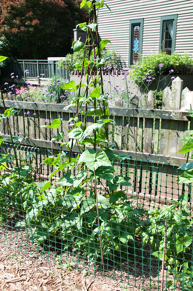 The chicks loved the beans, so I installed the fencing all around.